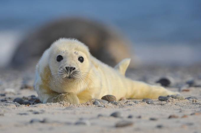 Grey Seal Baby by lmr337 - Soft Photo Contest