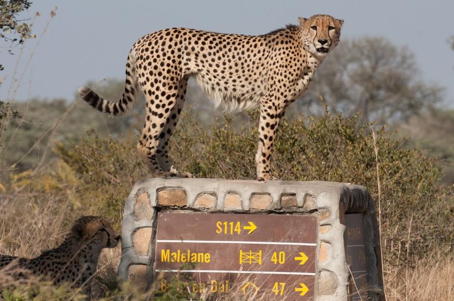Kruger National park Cheeta.
