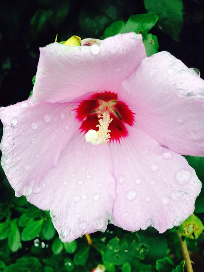 Rose of Sharon or Althea