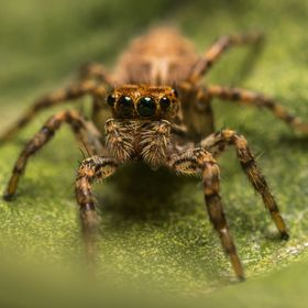 Plexippus paykulli is a jumping spider in the Salticidae family. Although native to south east Asia, its cosmopolitan in distribution, as it has ...