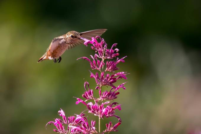 Hummingbird by bry67 - Hummingbirds Photo Contest