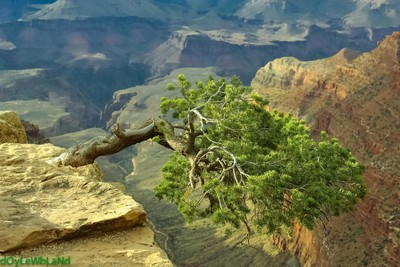 Lonely Tree over Grand Canyon