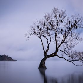 Each night the birds come in to roost in the Wanaka Tree and stay until just before the sun comes up.