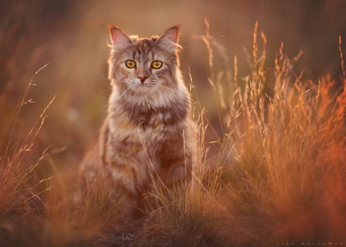 Luna by lisaholloway - Feline Beauty Photo Contest