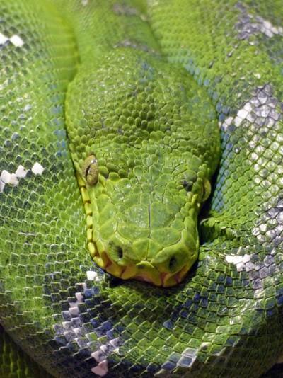 Resting Snake