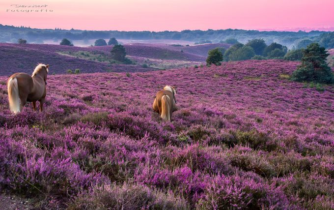 Purple Heathland by DennisartPhotography - Lost In The Field Photo Contest