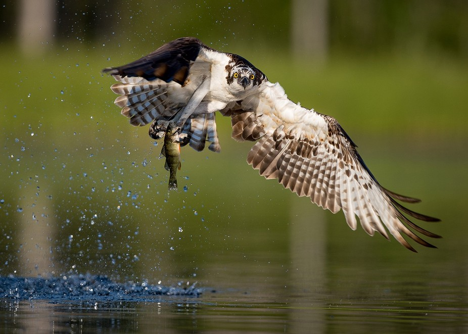 Osprey in action