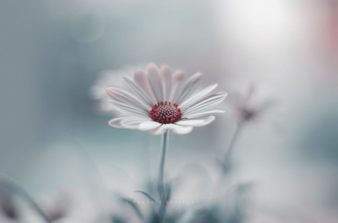 Daisy by Pascale - My Best Shot Photo Contest Vol 3