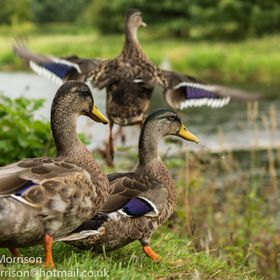 Taken in a small English countryside village near Clitheroe Lancashire UK. The ducks were loving the attention. I love the purple markings on the...