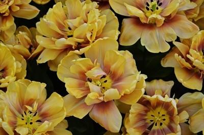 Sea of Golden Tulips