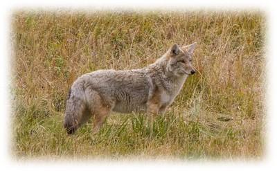 coyotewatching