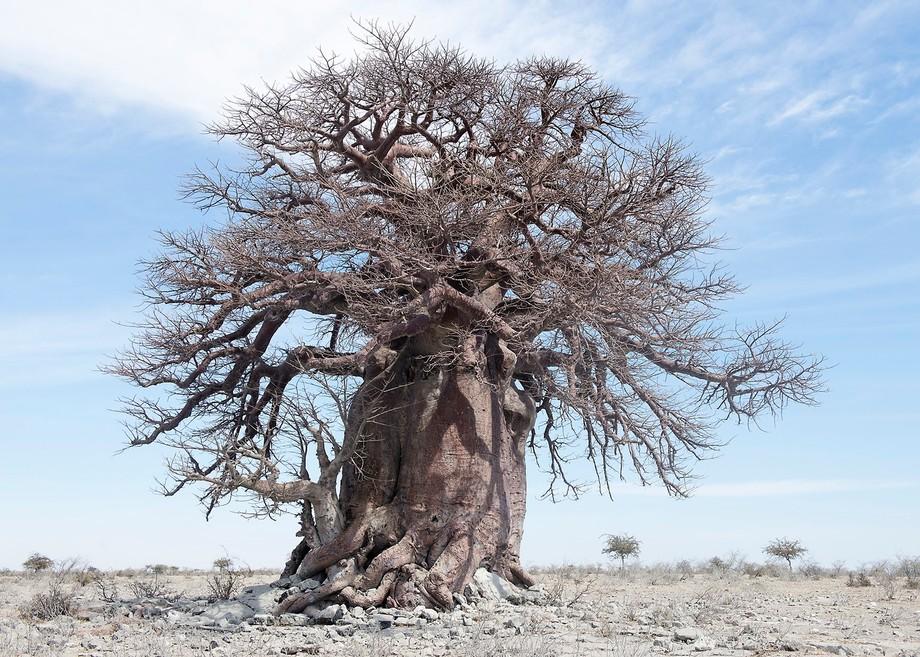 This enormous Baobab tree hidden away in Botswana
