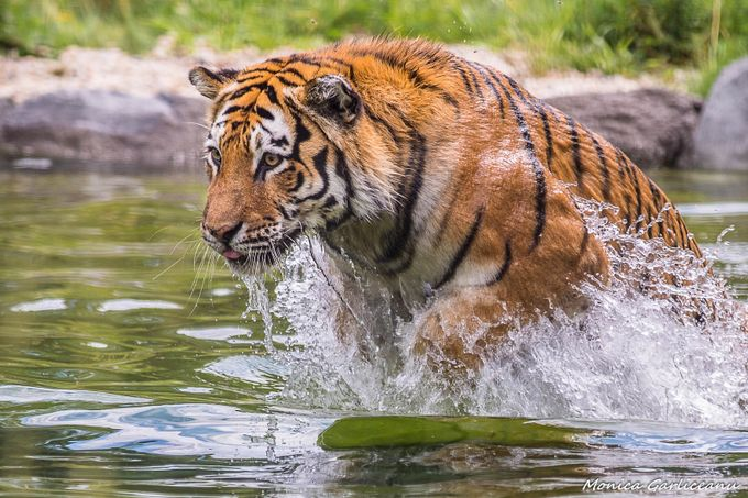 The Mighty Tiger by amona27 - Get Wet Photo Contest
