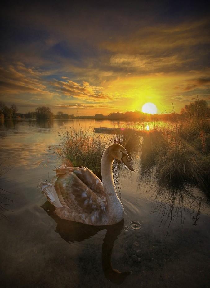 dawn swan x by Rwbjj - Sunrise Or Sunset Photo Contest