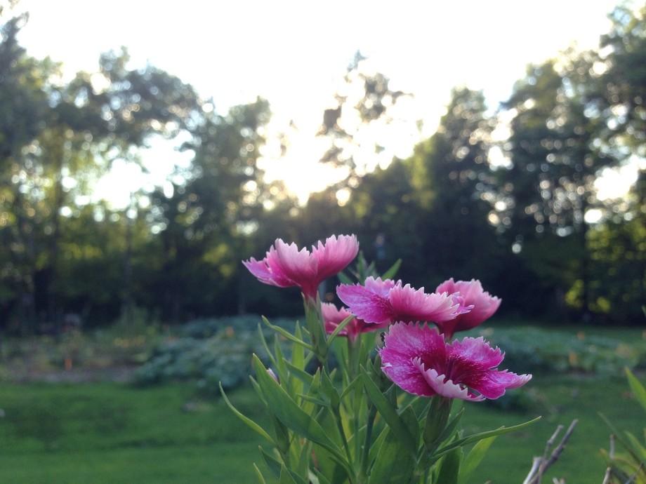 'Sun' flowers