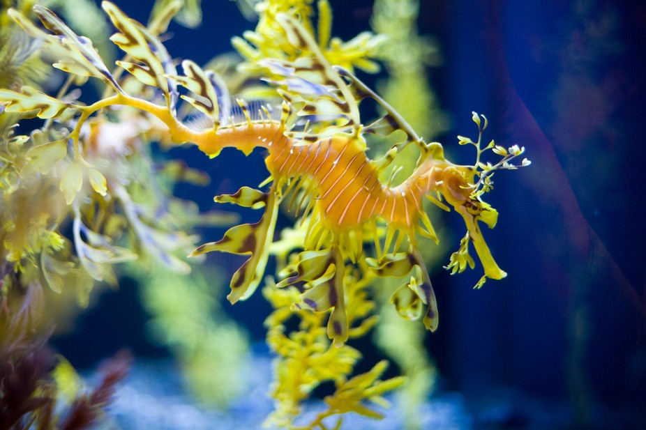 Leafy Seadragon at The Birch Aquarium in La Jolla, California.  It may look like part of the plan...