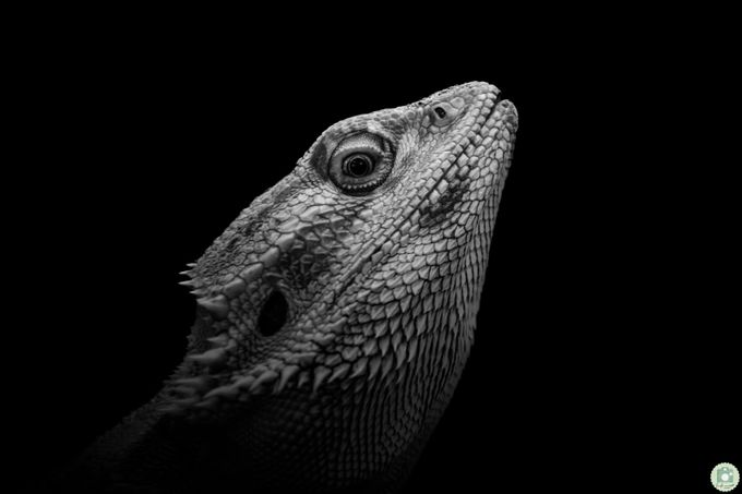 The lizard by AntonioBernardino - Reptiles And Amphibians Photo Contest