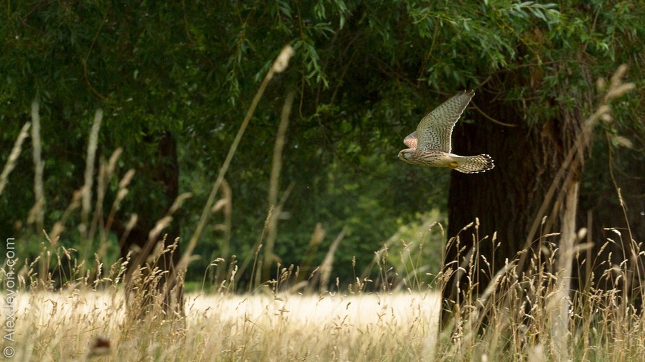 I spent a few days in a row recently watching Kestrels in Bushy Park. There are actually quite a ...