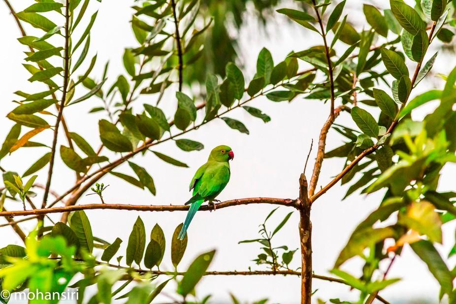 Rose Ringed Parakeet- junior