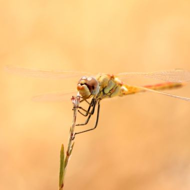 This photo of the dragon fly was taken in my garden, in the year 2012, at Yeni İskele, Cyprus.