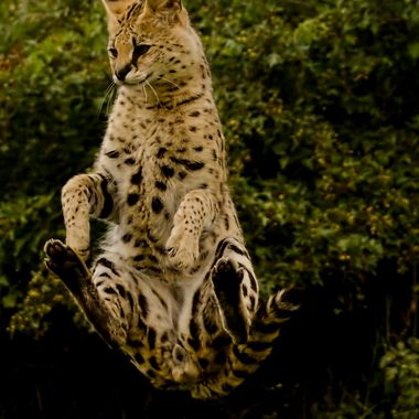 A serval leaps high to try to catch a flying bird,Captured as it pivoted around to land soundly.