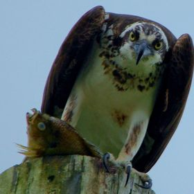 I was watching this young osprey for an hour waiting for it to get a fish, then it started to rain and I saw it dive from my car and followed it ...