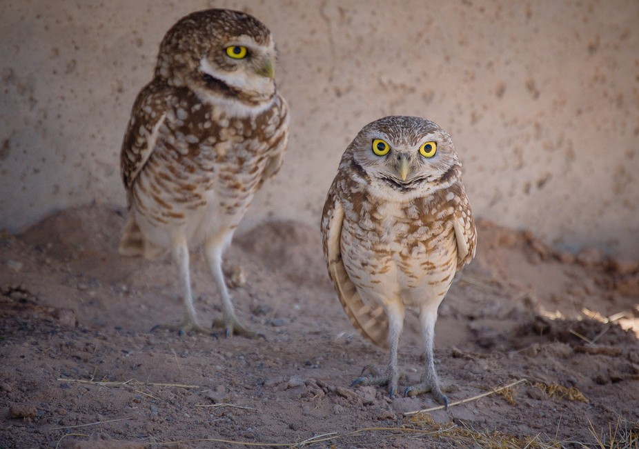 These owls love to hangout in the dried up irrigation channels, even if they are in heavily publi...