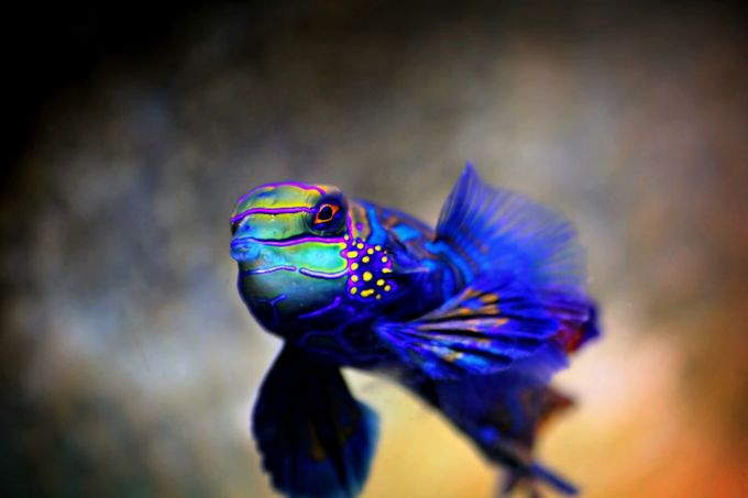 Mandarin Goby by KatieMcKinneyPhotography - Bright And Colorful Photo Contest