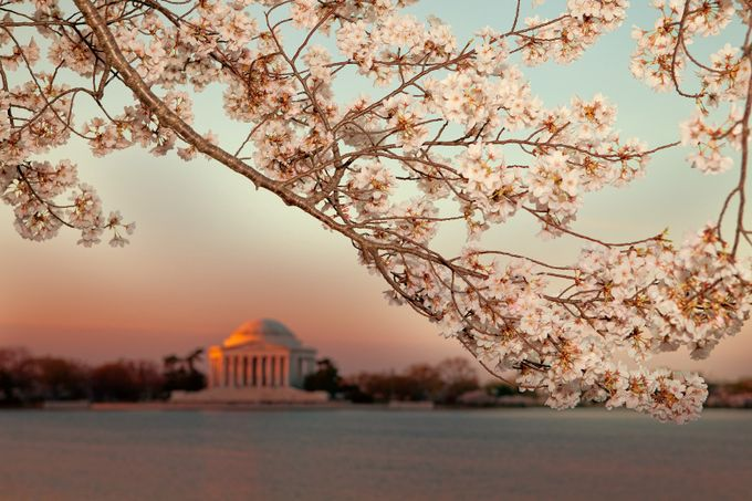Cherry Blossoms in Bloom at The Potomac Riverside  by jiangming - Pink Photo Contest