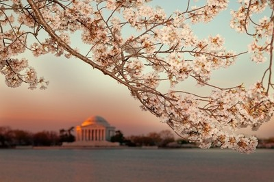 Cherry Blossoms in Bloom at The Potomac Riverside