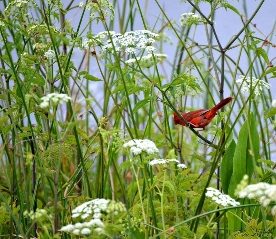 Cardinal OWP l
