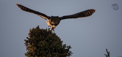 Great Horned Owl Coming for YOU!