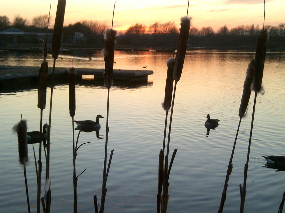 Ducks and bulrushes in the winter sunset.  King's Mill Reservoir, Nottinghamshire.