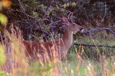 Deer - Summer 2015