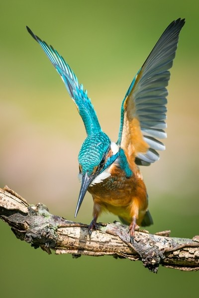 Kingfisher about to jump!