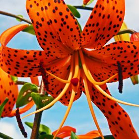 A spotted tigerlily