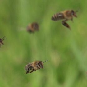 Honey Bees in flight back to the hive