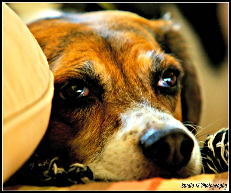 Fine Beagle