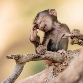 This 3 weeks old baboon is quite a showman! I made for a perfect oment during our amazing Tanzania photo safari
