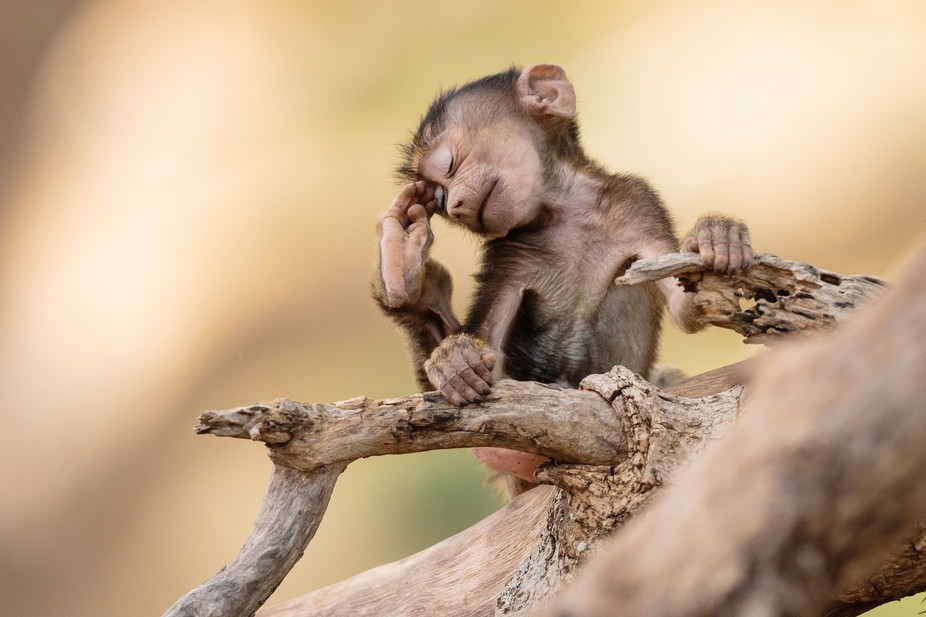 This 3 weeks old baboon is quite a showman! I made for a perfect oment during our amazing Tanzani...