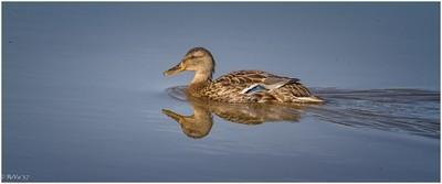 D. Duck
