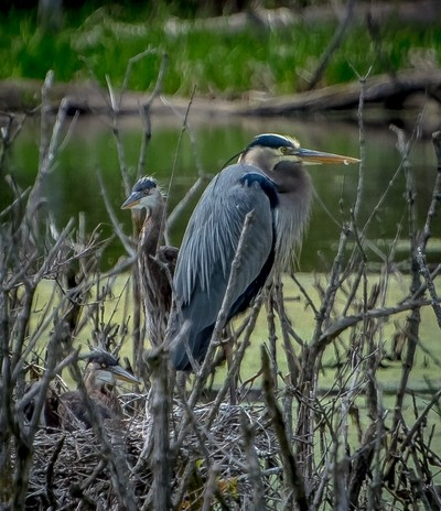 Great Blue Heron, wife and kids