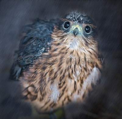 Merlin Fledgling