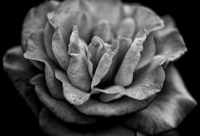 Roses are Black and White