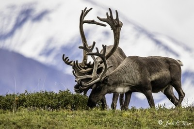 Caribou in Denali Wilderness  Area