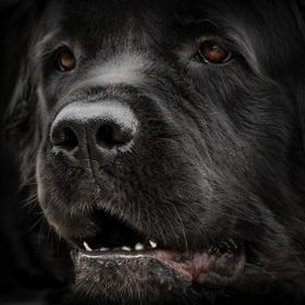 Fuzzy, our 3-year-old Newfoundland, posing for the camera