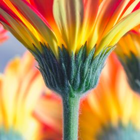 A row of multi-colored gerber daisies from the garden from a stem-up perspective.  Gerbera daisy flowers exhibit large (4