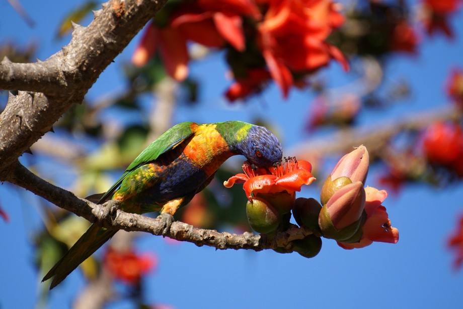 The rainbow lorikeets are regular visitors to the vividly coloured red kapok trees, feeding on th...