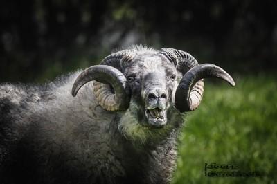 a male Icelandic sheep