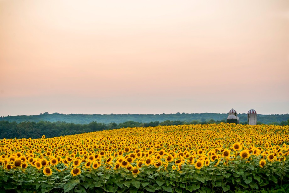 A farm in North Jersey, Sunflowers as far as the eye can see.